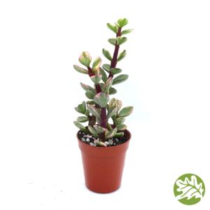 "PORTULACARIA afra variegata Mini 1.75"" pot #3757"
